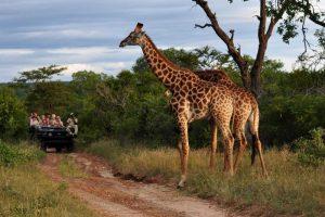 african safari jirafas